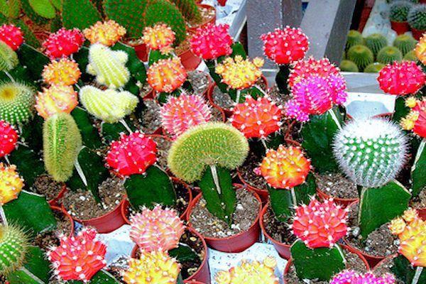 Enfermedades Comunes En Cactus