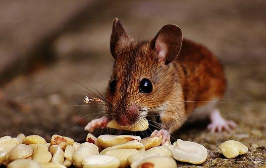 ratones en casa